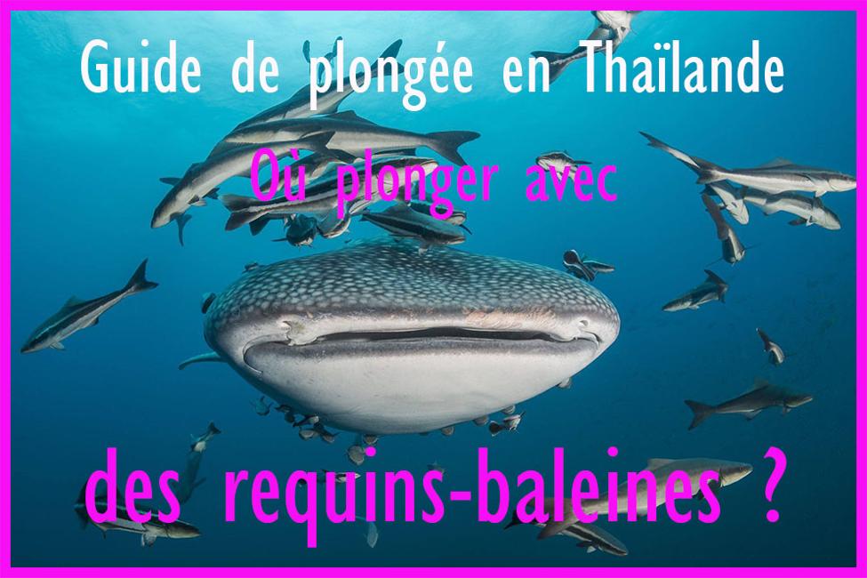 Guide de plongée en Thaïlande - Où plonger avec des requins-baleines ?