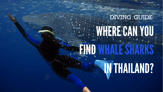 How to find whale sharks on your diving trip to Thailand