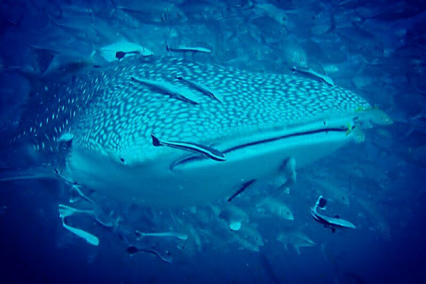 whale-shark-watching-thailand
